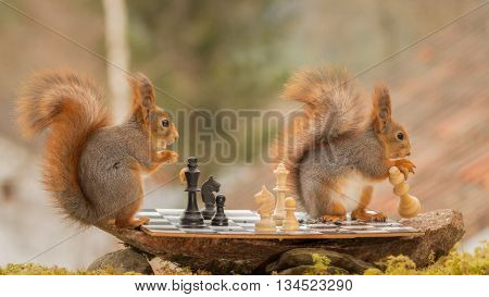 close up of red squirrels playing chess and one is taking away a white queen