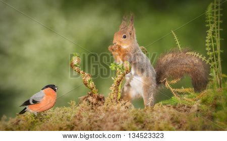 red squirrel and male bullfinch with ferns in between