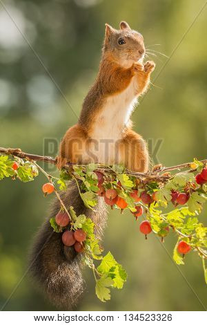 red squirrel standing on branch with gooseberries