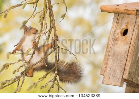 red squirrel standing on branch with willow flowers watching a birdhouse