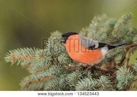 male bullfinch on a blue pine wood branch