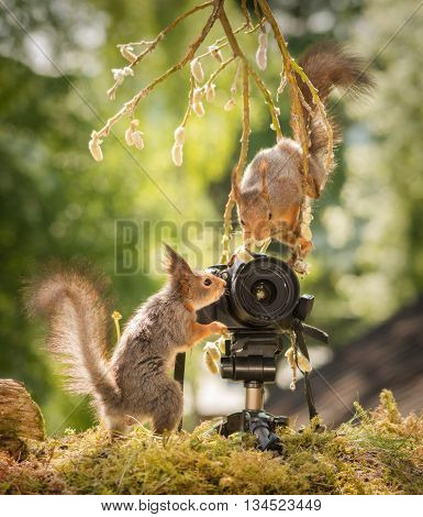 red squirrels standing with a camera one from a willow branch the other from the ground
