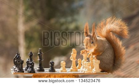 close up of a red squirrel playing chess