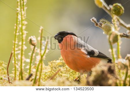 male bullfinch standing on moss with ferns