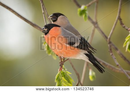 profile of male and female bullfinch standing on branch with young leaves