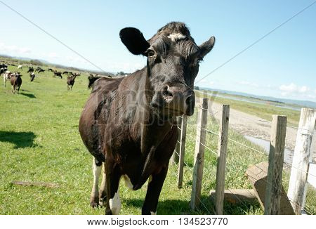 Black Holstein cow standing close with herd in background on New Zealand farm