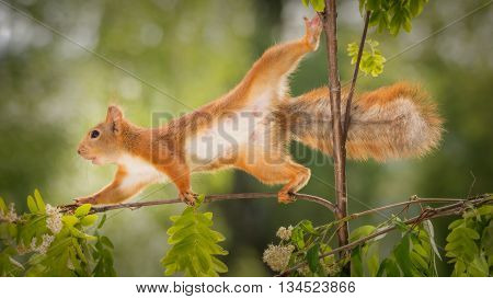 red squirrel on a branch with flowers standing in a difficult posture