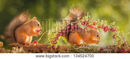 red squirrel standing under branch with gooseberries another with raspberries in hands