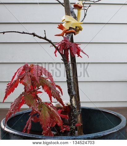 Asian red maple in vase with clasp support