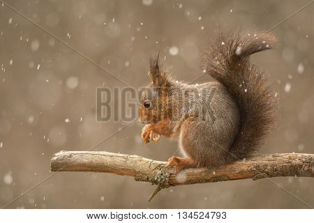 red squirrel standing on tree branch with blurry hail