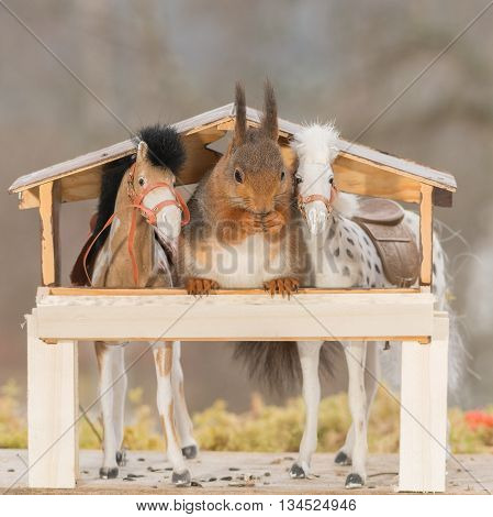 close up of a red squirrel between horses in a stable