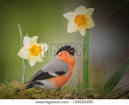 male bullfinch standing on moss with daffodil
