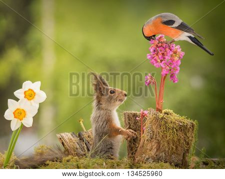 close up of a red squirrel and a male bullfinch on a flower