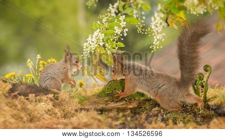 close up of red squirrels under branches with flowers with tail up