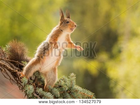 red squirrel standing on branch with spread fore legs and open mouth