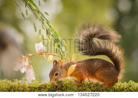 close up of a red squirrel with flowers and tail up