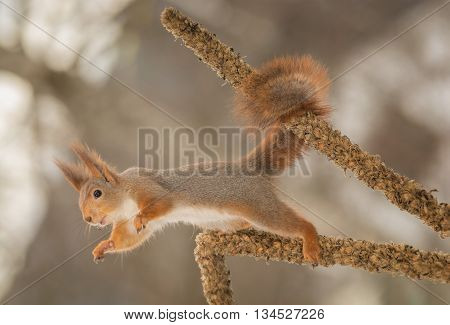 red squirrel standing between two dead flower stems