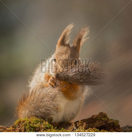red squirrel holding and moving the tail
