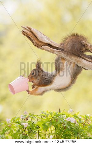 red squirrel hanging up side down with pink bucket and beneath jasmine flowers