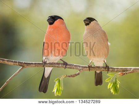 male and female bullfinch standing on branch with young leaves