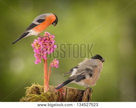male bullfinch standing on flower with female beneath