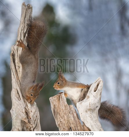 red squirrels on a tree trunk hanging down and the other looking