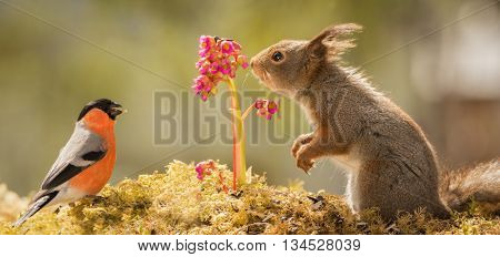 close up of a red squirrel and a male bullfinch with flower