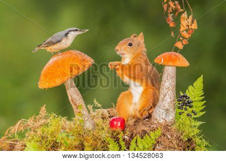 red squirrel and nuthatch standing with mushrooms