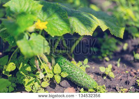 Cucumber growing in garden