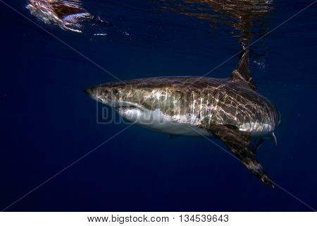 Great White Shark Ready To Attack Underwater