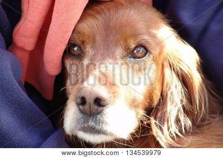 Portrait of an English setter , with gentle eyes