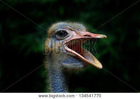 An ostrich is opening its mouth posing for the camera