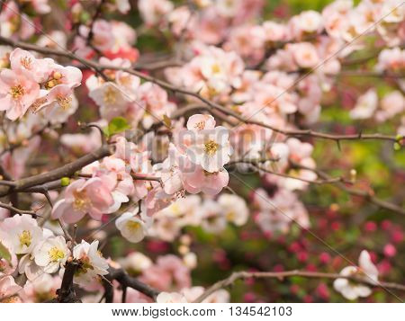 Branch Of Pink Cherry Blossom In Japan