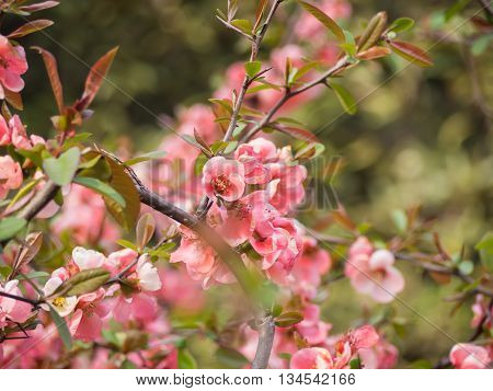 Pink Cherry Blossom On Tree In Japan