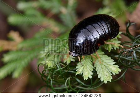 black and shiny Pill cockroach resting on leaf