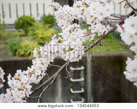 Cherry Blossom Branches Cover On The Cana