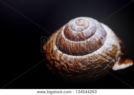 brown spiral shell on black background macro closeup photo