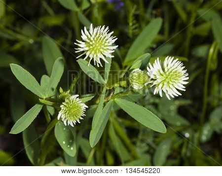 Mountain clover Trifolium montanum flowers and leaves close-up selective focus shallow DOF