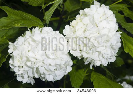 Blooming Guelder rose Viburnum opulus flower clusters close-up selective focus shallow DOF