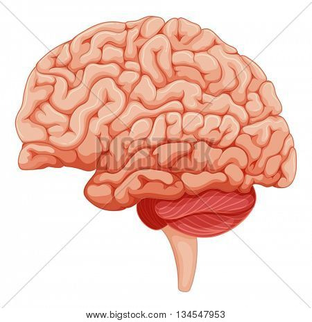 Close up on brain anatomy illustration