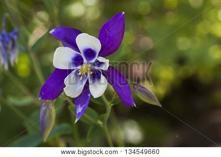 a  blue and white columbine or granny´s bonnet