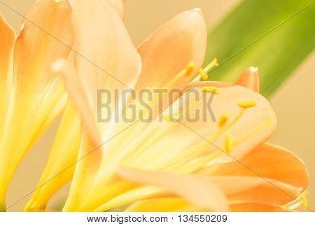 CloseUp from orange Clivia amaryllis flower. Nature Background.