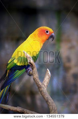 Beautiful Sun Parakeet bird perching on a branch