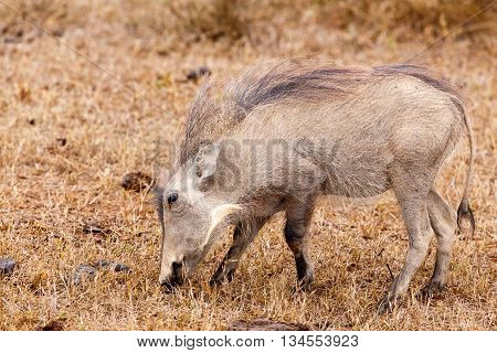 Just Eating Grass - Phacochoerus Africanus  The Common Warthog