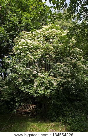 blooming elder tree (Sambucus nigra) above a bench in an overgrown wild garden