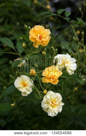 roses in creamy light yellow and apricot from the small rambler rose Ghislaine de Féligonde a hybrid multiflora from the French rose breeder Turbat selected focus and narrow depth of field vertical
