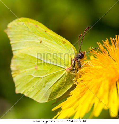 yellow brimstone butterfly (Gonepteryx rhamni) in natural environment