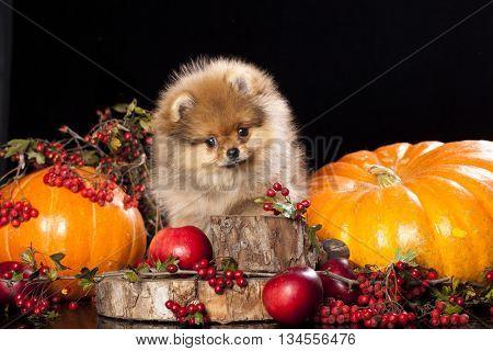 pomeranian spitz and pumpkins