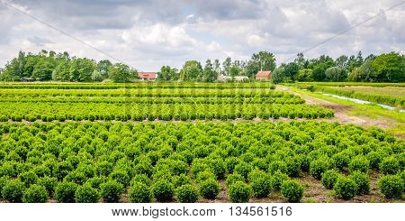 Dutch specialized nursery with many young buxus plants in rows.