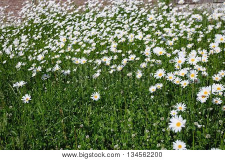 Top Down Beautiful Field Of Green Grass And Camomiles As Background In The Nature